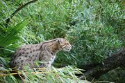 Chat_pecheur_zoo_Pessac